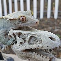 Adopt A Pet :: Tigre - Saugus, CA