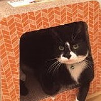 Adopt A Pet :: FIGARO/ dog-alike personality - Bryn Mawr, PA