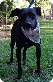 Manchester Terrier Mix Dog for adoption in Ocala, Florida - Faith