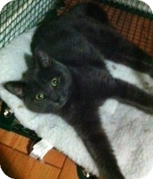 Domestic Shorthair Kitten for adoption in Huntsville, Ontario - Mouse - Born in August!