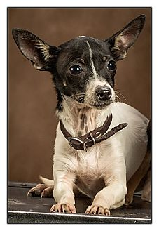 Rat Terrier Puppy for adoption in Owensboro, Kentucky - Kate