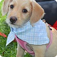 Adopt A Pet :: Delila - Los Angeles, CA