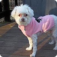 Adopt A Pet :: Angel (in ME) - Gilford, NH