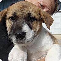 Adopt A Pet :: Lucas - Danbury, CT