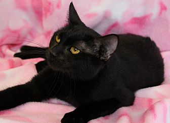 Domestic Shorthair Cat for adoption in Greensboro, North Carolina - Ebony