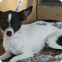 Chihuahua Dog for adoption in Vacaville, California - Sprite