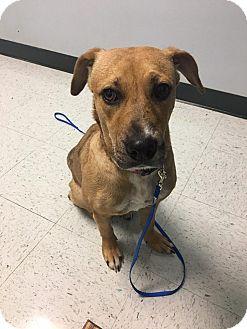 Labrador Retriever Mix Puppy for adoption in Allentown, New Jersey - Ella
