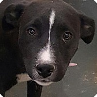 Labrador Retriever/Terrier (Unknown Type, Medium) Mix Dog for adoption in Fort Smith, Arkansas - Braid