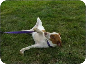 Jack Russell Terrier Dog for adoption in Marysville, Ohio - Carmine