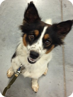 Australian Cattle Dog/Papillon Mix Puppy for adoption in Manchester, Connecticut - Jackson