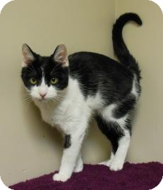 Domestic Shorthair Cat for adoption in Gary, Indiana - Clair