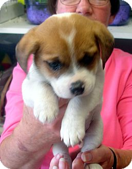 Beagle/Chihuahua Mix Puppy for adoption in Greencastle, North Carolina - Reece