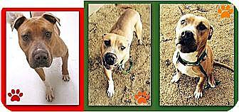 Labrador Retriever/American Bulldog Mix Dog for adoption in Littleton, Colorado - BRAD