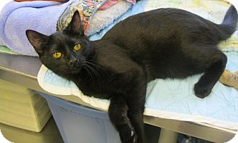 Domestic Shorthair Cat for adoption in Manning, South Carolina - Bee