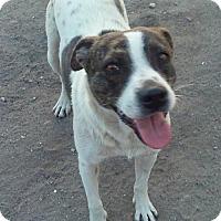 Pointer/Retriever (Unknown Type) Mix Puppy for adoption in Dana Point, California - Tessa