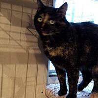 Domestic Shorthair Cat for adoption in Rochester, Minnesota - Confetti
