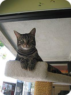 Domestic Shorthair Cat for adoption in Sherman Oaks, California - Daisy