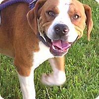 Adopt A Pet :: Yogi - Metamora, IN
