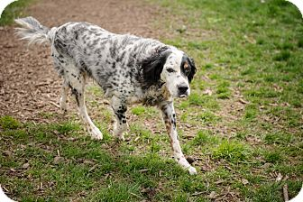 English Setter/Setter (Unknown Type) Mix Dog for adoption in Wood Dale, Illinois - Harrsion- Wisconsin