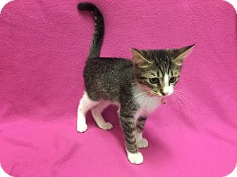 Domestic Shorthair Kitten for adoption in Watauga, Texas - Madison