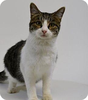Domestic Shorthair Cat for adoption in New Iberia, Louisiana - ZAHNE