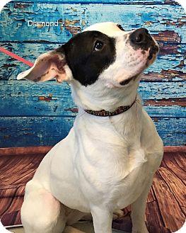 American Pit Bull Terrier Mix Dog for adoption in Hibbing, Minnesota - DIAMOND