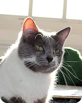 Domestic Shorthair Cat for adoption in Palmdale, California - Serena