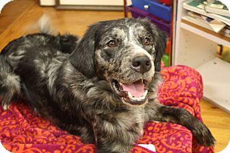 Anatolian Shepherd/Golden Retriever Mix Dog for adoption in Marietta, Georgia - Dallas