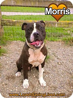 American Staffordshire Terrier/Mastiff Mix Puppy for adoption in Pitt Meadows, British Columbia - Morris