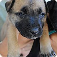 Adopt A Pet :: Barley - Orlando, FL