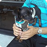 Adopt A Pet :: Zeus - Miami, FL