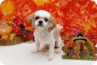 Shih Tzu Mix Dog for adoption in Houston, Texas - East Ranger Turner Turner