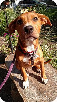 Labrador Retriever/Shepherd (Unknown Type) Mix Puppy for adoption in Baltimore, Maryland - Summer