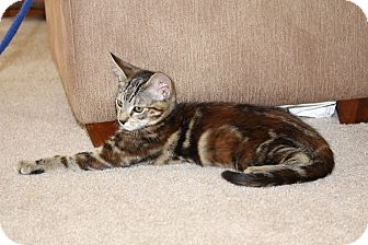 Domestic Shorthair Kitten for adoption in Alamo, California - Chloe