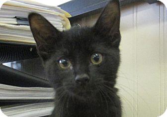 Domestic Shorthair Kitten for adoption in Lloydminster, Alberta - Blackberry