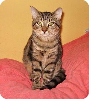 Domestic Shorthair Kitten for adoption in Colmar, Pennsylvania - Jenny