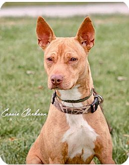 American Pit Bull Terrier Mix Dog for adoption in Zanesville, Ohio - Rudy - ADOPTED!