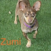Adopt A Pet :: Zumi - Houston, TX