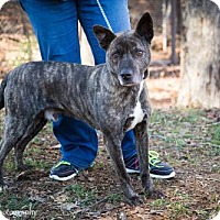 American Pit Bull Terrier Dog for adoption in Clarkesville, Georgia - Covi