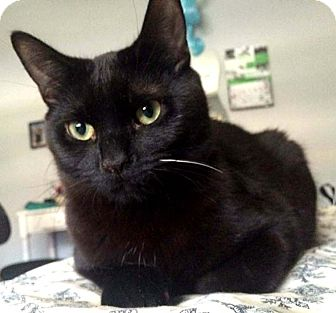 Domestic Shorthair Cat for adoption in Lombard, Illinois - Arthur