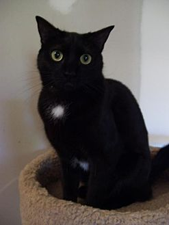 Domestic Shorthair Cat for adoption in McConnells, South Carolina - Dorie