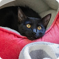 Adopt A Pet :: Gizmo - Prescott, AZ