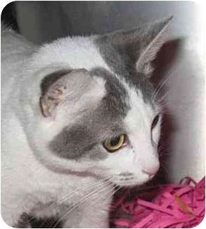 Domestic Shorthair Cat for adoption in Seattle c/o Kingston 98346/ Washington State, Washington - Checkers