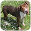Photo 1 - American Staffordshire Terrier/Hound (Unknown Type) Mix Dog for adoption in Chicago, Illinois - Montel