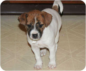 Rat Terrier Puppy for adoption in Westfield, Indiana - Bailey