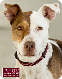 Pointer/Catahoula Leopard Dog Mix Dog for adoption in Marina del Rey, California - Roxy