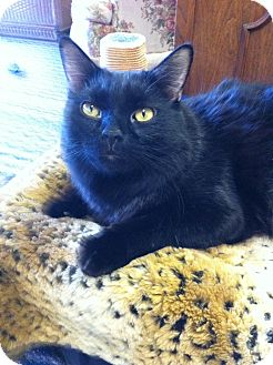 Domestic Mediumhair Cat for adoption in Phoenix, Arizona - Boo Boo