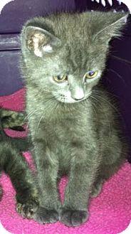 Domestic Mediumhair Kitten for adoption in Greensboro, Georgia - Clint
