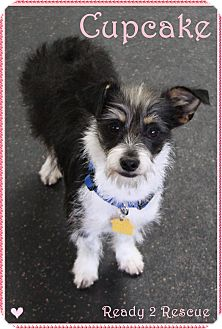 Jack Russell Terrier/Schnauzer (Miniature) Mix Dog for adoption in Rockwall, Texas - Cupcake