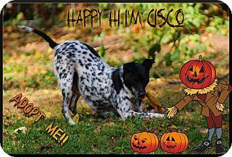 Australian Cattle Dog Mix Dog for adoption in Nixa, Missouri - Cisco 275